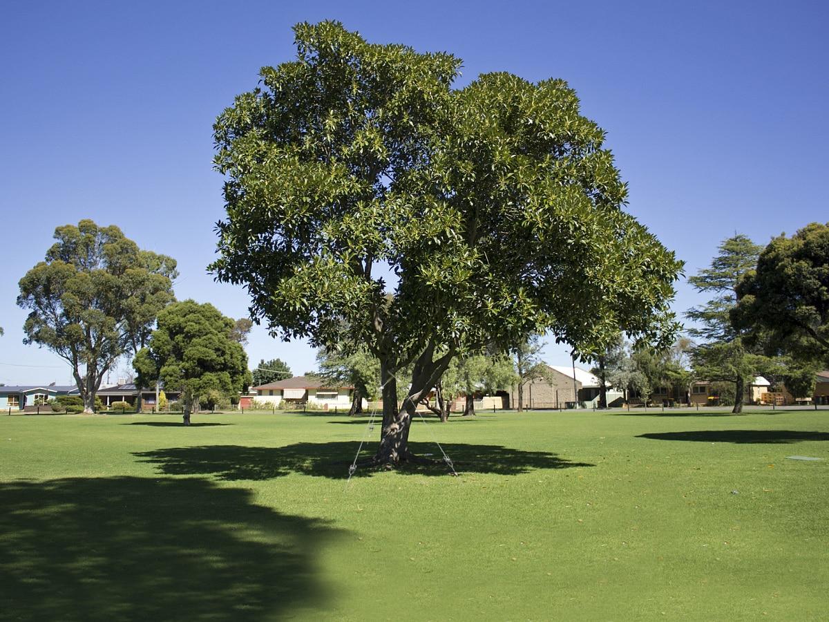 Haubanage d'arbre avec le système d'ancrage au sol de Platipus